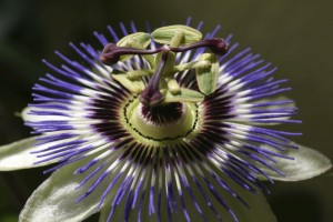 ADHD Insomnia passion flower