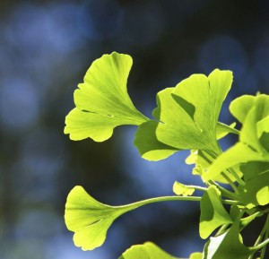 prevent vision loss gingko
