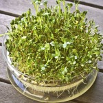 Sprouting seeds of alfalfa in the germination dish