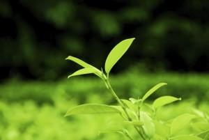 dry, itchy scalp tea tree